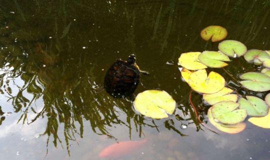Skildpadde hjemme igen
