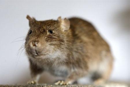 Ugler vil ikke spise rotter