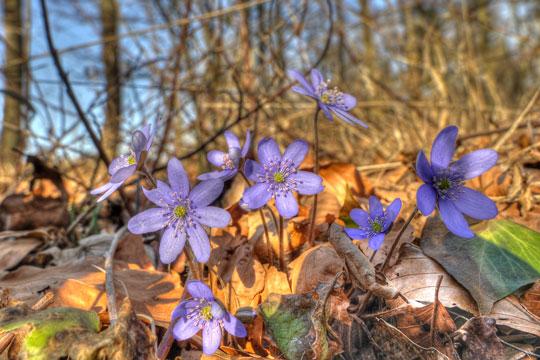 Forår giver lyst til anemonetur