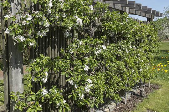 Klatreplanter og rum i haven