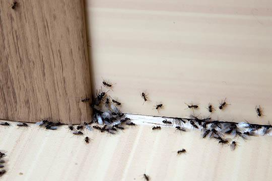 Højsæson for myrer i boligen