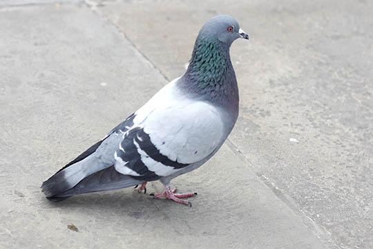 Forskel på duerne på Bornholm