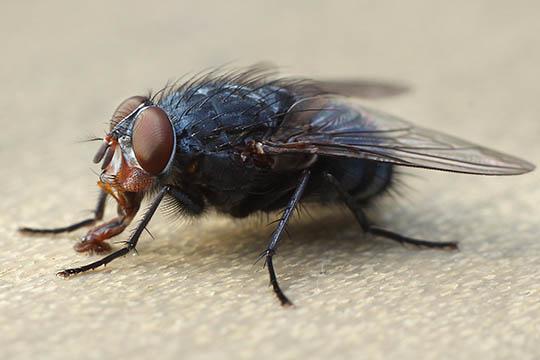 Fluen er en verdensborger