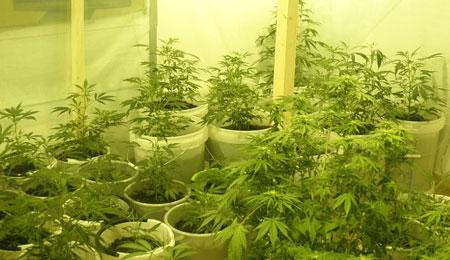 64-årig kvinde dyrkede cannabis