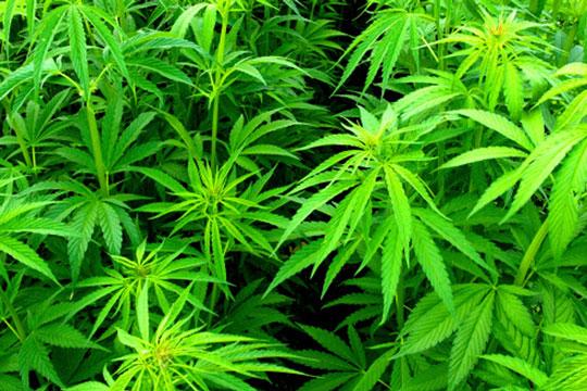 Fremstillede marihuana i eget laboratorium