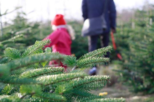Miniportræt af to populære juletræer