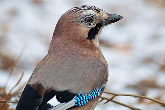 Skovens flotte fugl husker godt