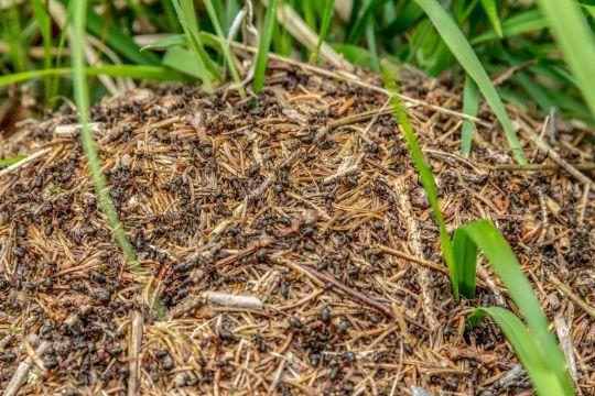 Når myrerne generer husfreden
