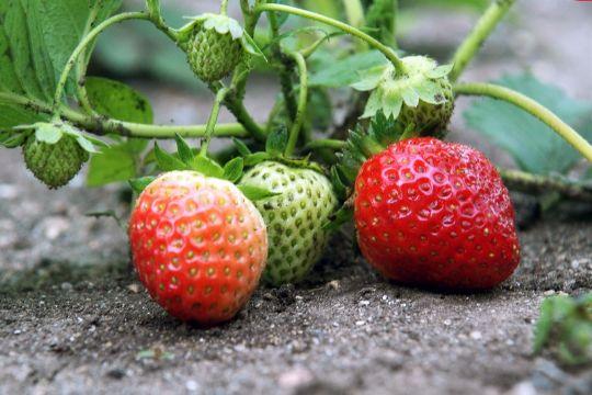 Plant nye jordbær nu