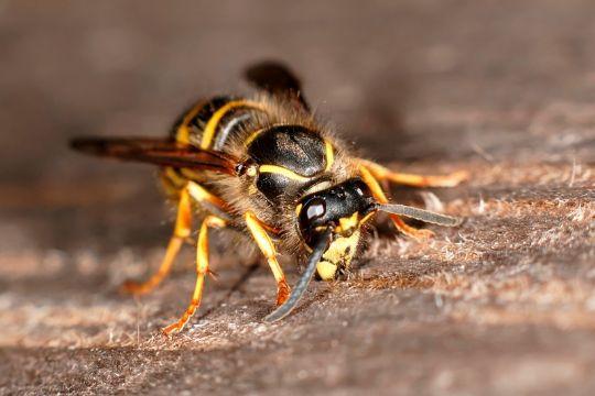 Hvepsene hærger netop nu