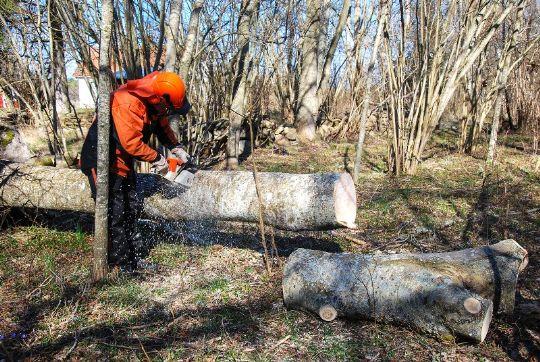 Lad fagmanden fælde de store træer