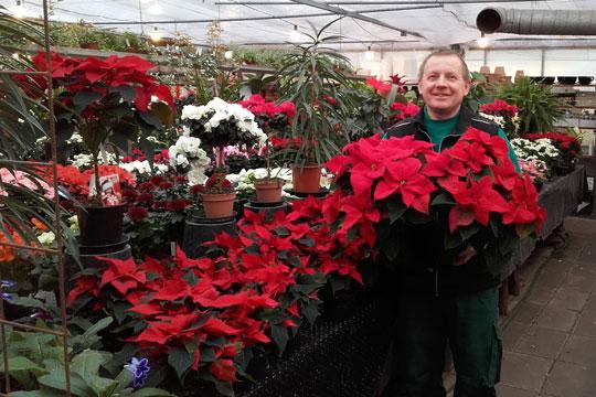 Plantecenter har solgt knap 2.700 julestjerner