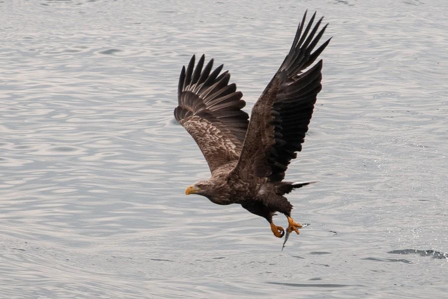 130 havørne på vingerne