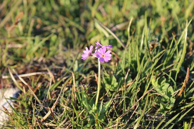 Naturpleje skal hjælpe truet blomst