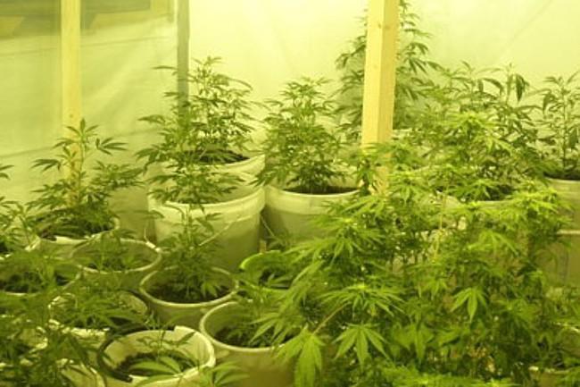 Mand i Tejn dyrkede cannabisplanter