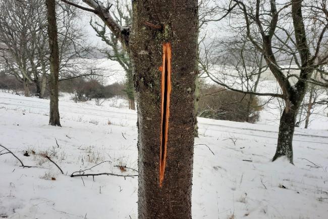 Træer skades med vilje ved Hammersholm