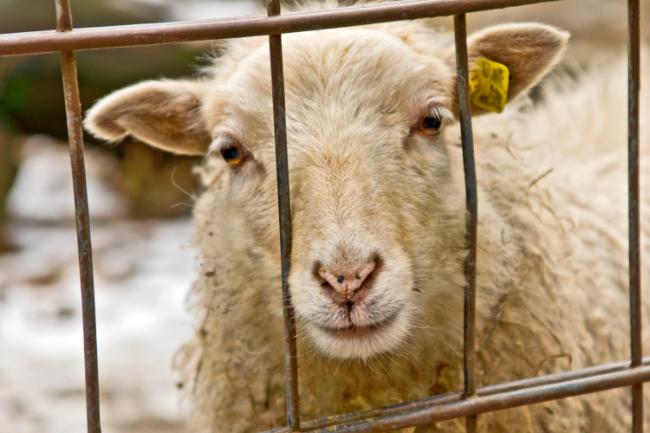 Mand sigtet for uforsvarlig slagtning af seks får