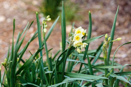 De vilde påskeliljer