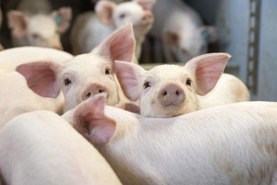 Svinebrug skal leve op til nye miljøkrav