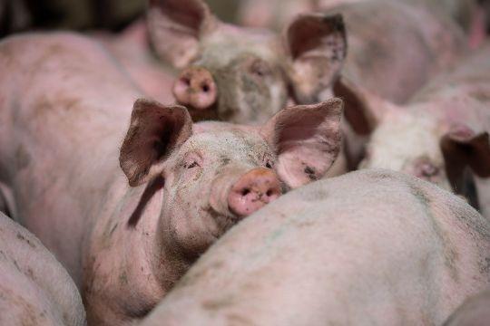 Svinefarm gav mindre overskud