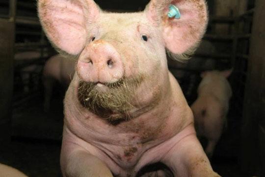 Vognmand tiltalt for brud på dyreværnsloven