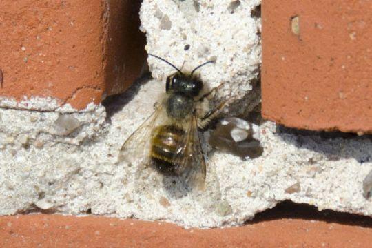 Murbier kan ødelægge bygninger
