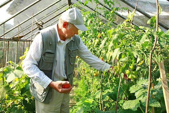 Solmodne tomater