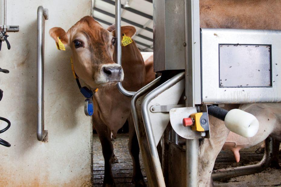 Bornholms mælkebønder har lavere indtjening