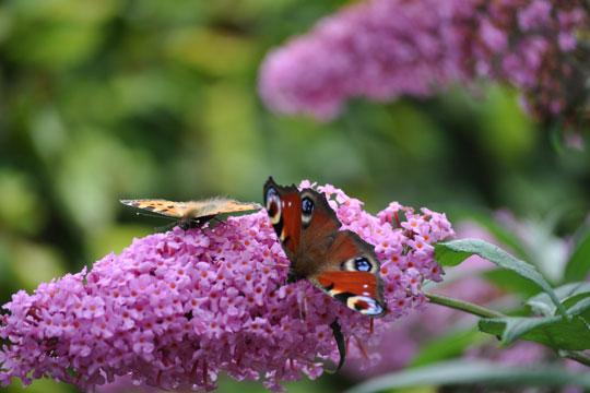 Invitér sommerfuglene på besøg