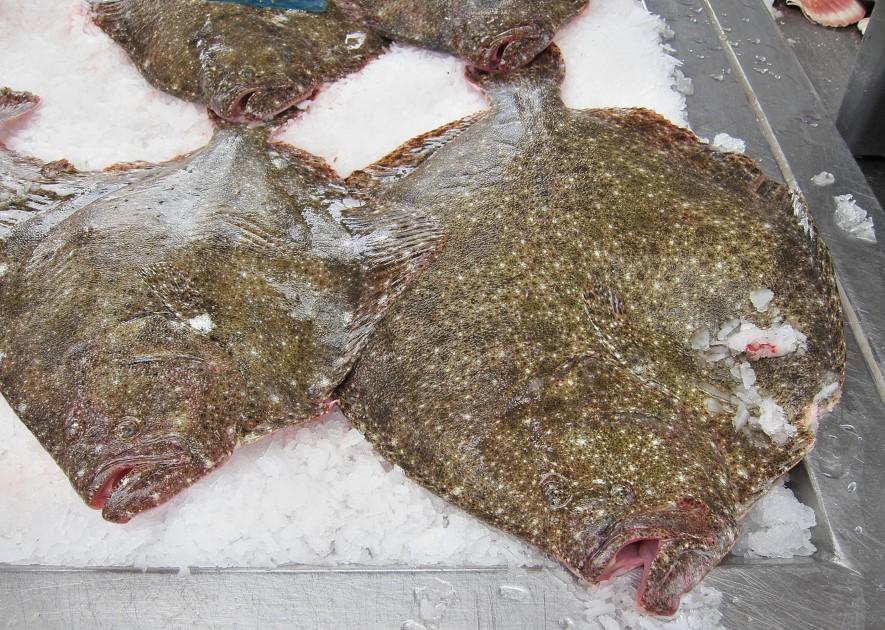 Fritidsfisker landede pighvar under mindstemål